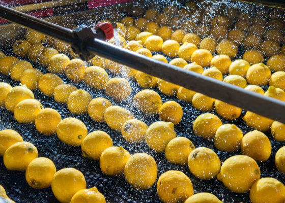 Lemons on production line being washed