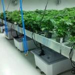 cannabis grow room contractors